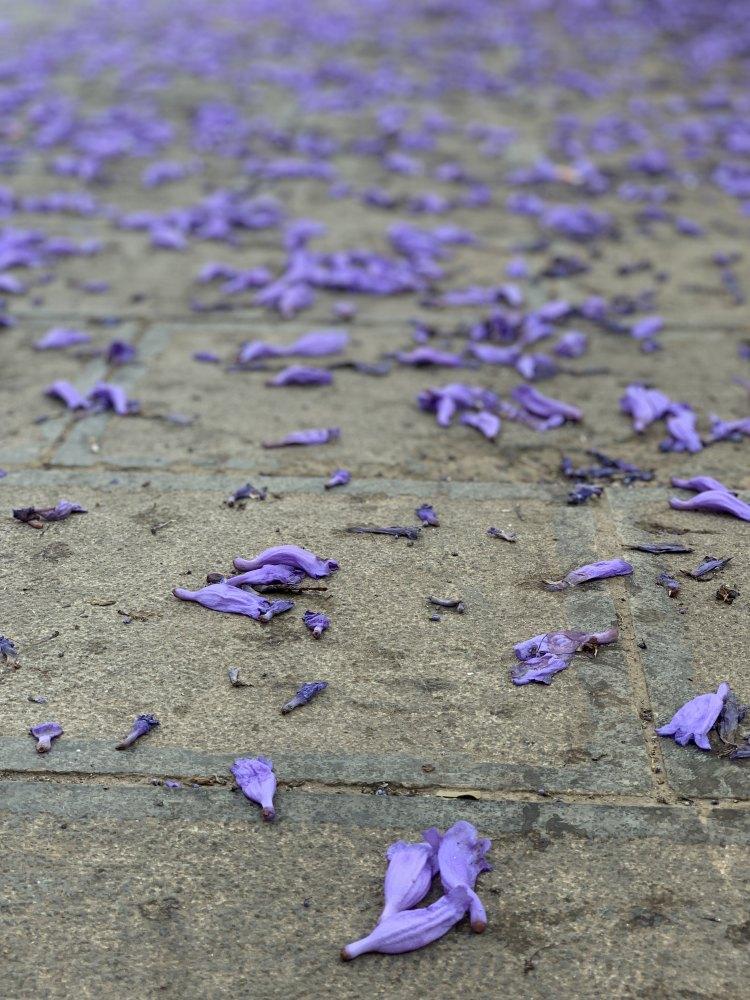 昆明市東風広場-蓝花楹。