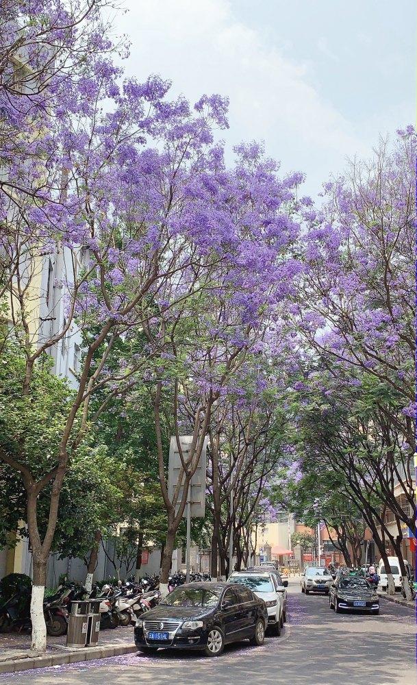 昆明市鉄皮巷-蓝花楹。